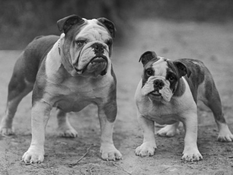 thomas-fall-two-unnamed-bulldogs-stand-together-owned-by-green